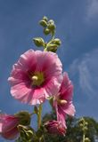 Purple malva. Beautiful malva (mallow) flower in close-up Stock Photos
