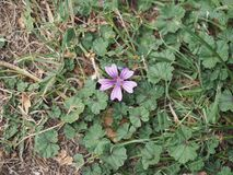 Purple malva flower. Purple malva sylvestris aka mallows flower bloom Stock Photos