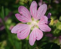 Purple malva (Lavatera thuringiaca L) Royalty Free Stock Images