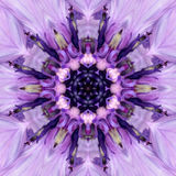 Purple Mandala Flower Center. Concentric Kaleidoscope Design. Purple Mandala of Cornflower Flower Center Close-up. Mirrored Concentric Kaleidoscopic Design of Stock Photo
