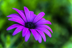 Purple Marguerite, Osteospermum. A small delicate and fragile flower named a Purple Marguerite, Osteospermum or  daisybush Stock Photography