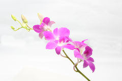 Purple Maroon Orchid Flower Royalty Free Stock Photography