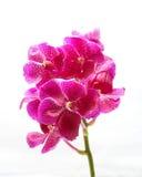 Purple Maroon Orchid Flower Stock Photo