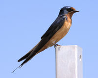 Purple Martin Royalty Free Stock Photos
