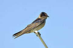 Purple Martin Royalty Free Stock Photo