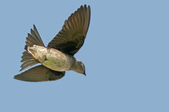Purple martin. A female purple martin flying to her nest Stock Image
