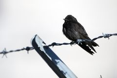 Purple Martin bird perched on barbed wire fence, Georgia stock photos
