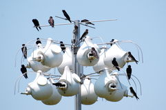 Purple Martin Colony. A colony of purple martins, Progne subis, North America's largest swallow stock image