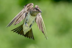 Purple Martin Stock Photo