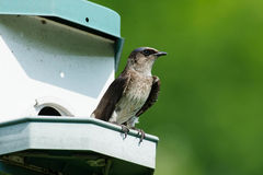 Purple Martin Royalty Free Stock Image