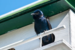 Purple Martin Royalty Free Stock Photography