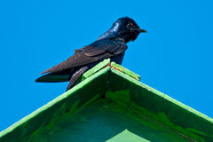 Purple Martin Stock Image