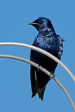 Purple Martin Stock Photography