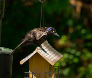 Purple Martin Royalty Free Stock Images