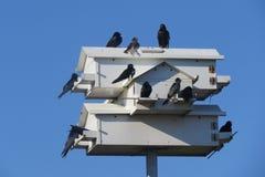 Purple Martins and Birdhouse Stock Photos