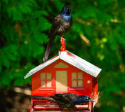Purple Martins Stock Images