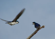 Purple Martins Fighting. One bird was trying to take over the other bird house Royalty Free Stock Image