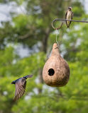 Purple Martins Stock Image