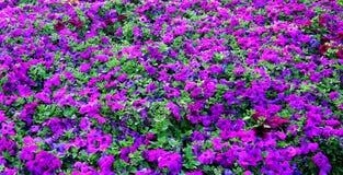 Purple meadow!. Beautiful purple flowers in green grass royalty free stock photography
