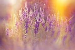 Purple meadow flower Royalty Free Stock Image