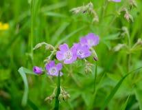 Purple meadow flower -  Geránium praténse Stock Photography