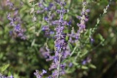 Purple meadow Flower Stock Photo