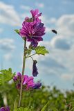 Wild  mauve mallow (mallow silvestris)  partially finished flowering with bumble bee. Wild  mauve mallow (mallow silvestris)  partially Stock Photos