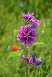 Wild  mauve mallow (mallow silvestris) r partially finished flowering. Purple Meadow Flower partially finished flowering with green background Stock Photo