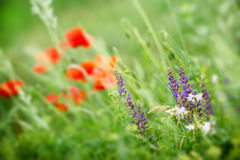 Purple meadow flower - wild meadow flower Stock Photos