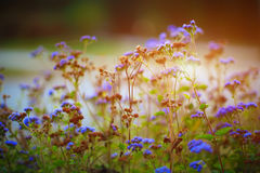 Purple meadow flowers blossom in the garden in early sunrise Stock Images