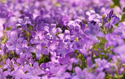 Purple meadow flowers in spring Royalty Free Stock Photos