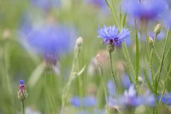 Purple meadow wild flower in soft focus shallow depth stock photos