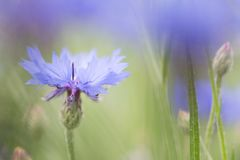 Purple meadow wild flower in soft focus shallow depth royalty free stock photo