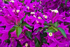 Purple mediterranean flowers on a morning sunshine in Sithonia Stock Photography