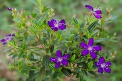 Purple melastoma candidum Royalty Free Stock Image