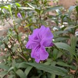 Purple Mexican Petunia Royalty Free Stock Images