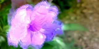 Purple Mexican Petunia, artistic fantasy Royalty Free Stock Photos