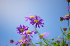 Purple Michaelmas daisies. In blue sky Royalty Free Stock Image