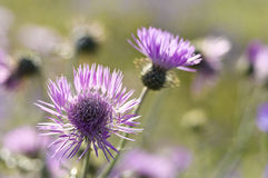 Purple Milk Thistle Royalty Free Stock Image