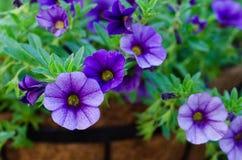 Purple Million Bells - Calibrachoa Royalty Free Stock Image