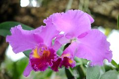 Purple miltassia aztec ochird Royalty Free Stock Image