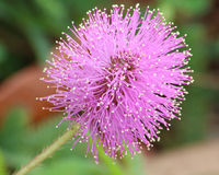 Purple Mimosa pudica flower. Wispy purple Mimosa Pudica flower in full bloom found in Florida in the woods during early March Stock Images