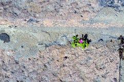 Purple mini flower growing on footpath royalty free stock photo