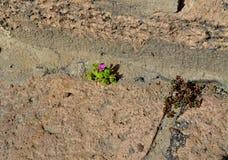 Purple mini flower growing on footpath stock images