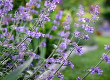 Purple Mint Herb Flowers growing outdoor in a garden, mediterranean herbs for healthy food or organic kitchen, close up stock image
