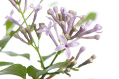 Purple miss kim lilac flowers on a branch Stock Images