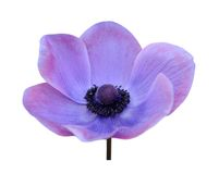 Purple mona lisa blush. Flower isolate on white Royalty Free Stock Photography