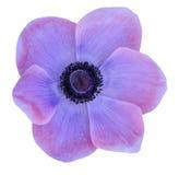 Purple mona lisa blush. Flower isolate on white Stock Photos