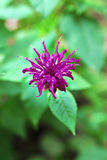 Purple Monarda flower Stock Image