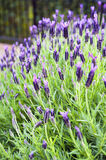 Purple Monet Dentate Lavender during its blossom in garden Royalty Free Stock Image